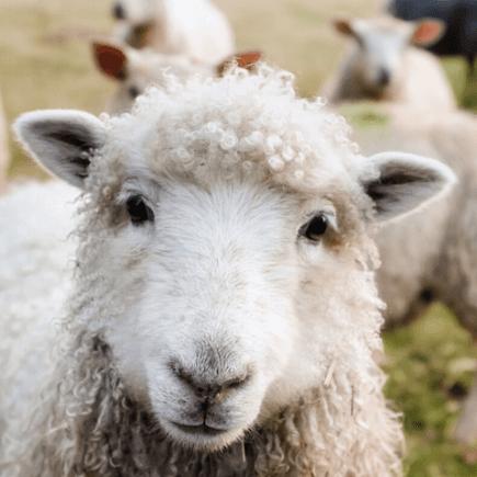 oveja, santuario animal